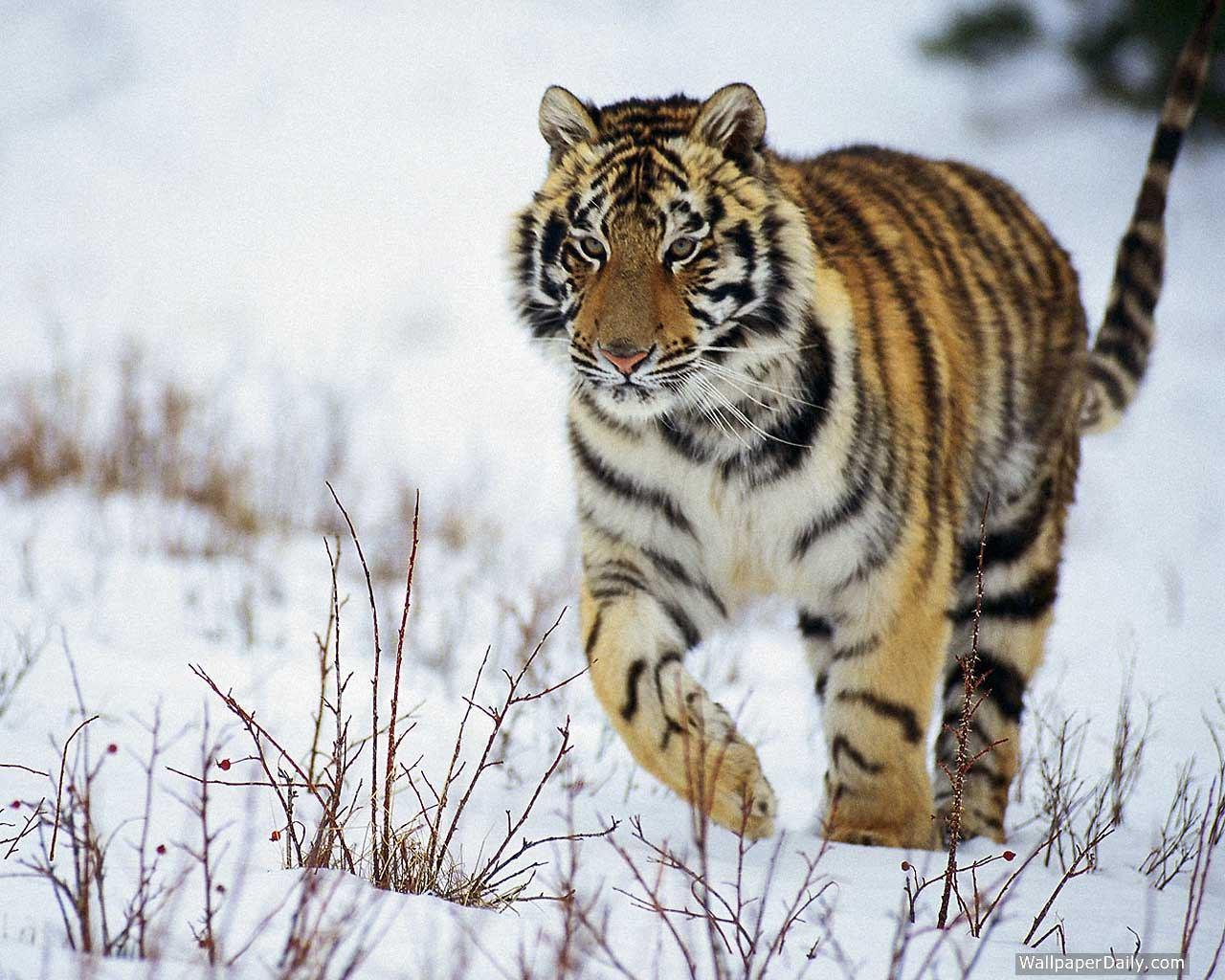 картинка амурского тигра