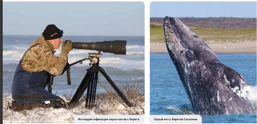 Серый кит у побережья Сахалина