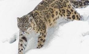 Сохранение снежного барса (ирбиса) как национального символа Казахстана, Карлсберг Казахстан
