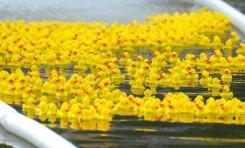 Четвертый благотворительный утиный заплыв в Воронцовском парке Москвы