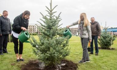 В Минске появился настоящий «хвойный оазис» -  в Комаровском сквере высадили аллею из 25 голубых елей.
